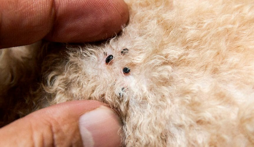 Are Fleas Dangerous To Humans Or Pets?